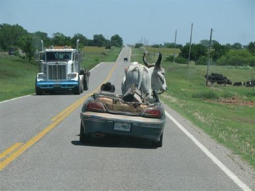 Brahman Bull In A Pontiac Grand Am