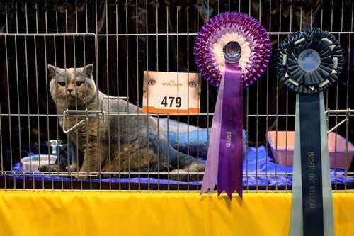 Pissed Off Show Cat Does Not Give Even One Fuck About Your Fucking Prizes