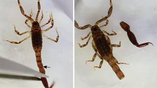 """A scorpion's anus is at the end of its tail. If the tail breaks off, the"