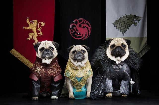 Watch Three Pugs Play Their Favorite Game of Thrones Characters