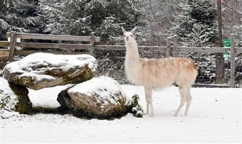 Llama Rescued After Being Stranded On Pikes Peak