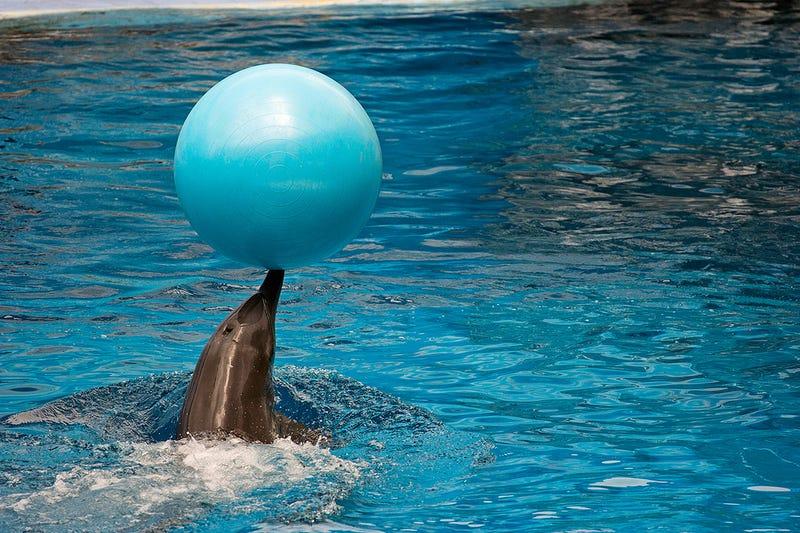 National Aquarium Ponders Moving Dolphins to a Sanctuary