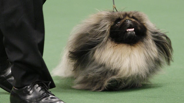Westminster Winner Announced, Is Cutesy Bootsy Booboo