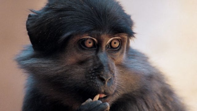 Infection-resistant monkeys could be crucial in the fight against HIV