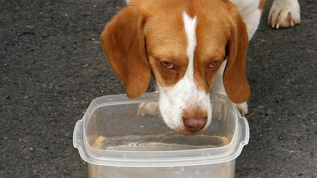 How Dogs Seem to Break Gravity With Every Sip of Water They Take