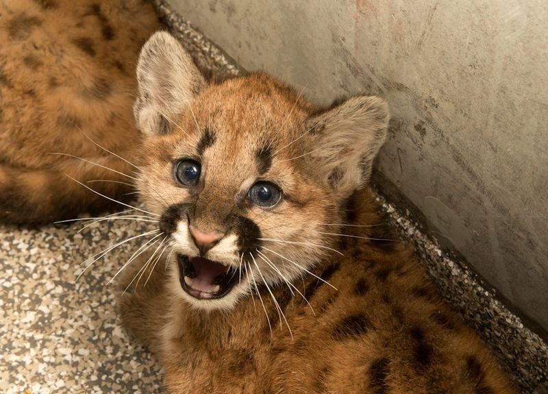 ZOMG BABY COUGARS!!! And A Little About the AZA