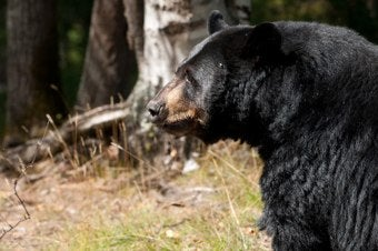 17-Year-Old Girl Kills Giant Bear With Bow & Arrow