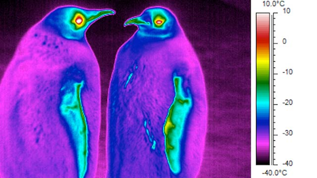 Whoa, Penguins Are Actually Colder Than Their Antarctic Surroundings