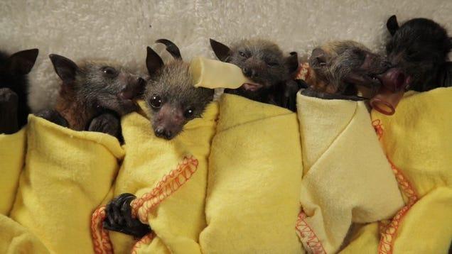 Australian Heat Wave Bats Baby Bat Burritos a Heat Wave