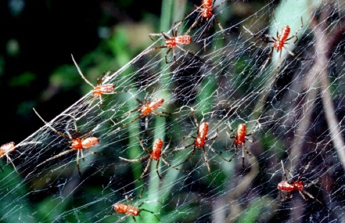 This Week in Sinister Evolutionary Leaps: Cooperative Spiders