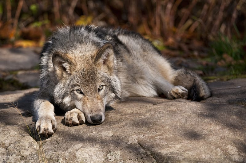 A fascinating difference between pet dogs and tame wolves