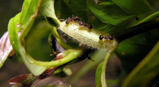 Esta oruga segrega una droga que controla el cerebro de las hormigas