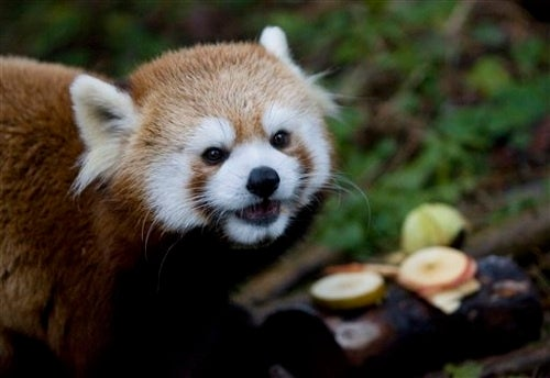 Dreaming Of A White Red Panda Christmas