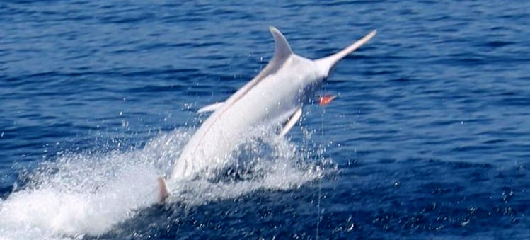 Extremely rare albino blue marlin caught on camera for the first time