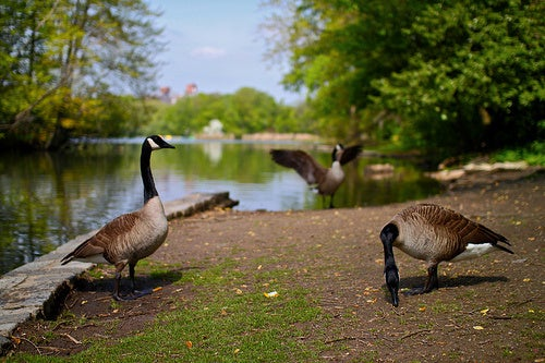400 Canada Geese Killed in Prospect Park