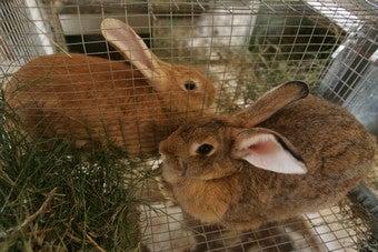Rabbit Thieves Executed In Eighteenth Century Britain