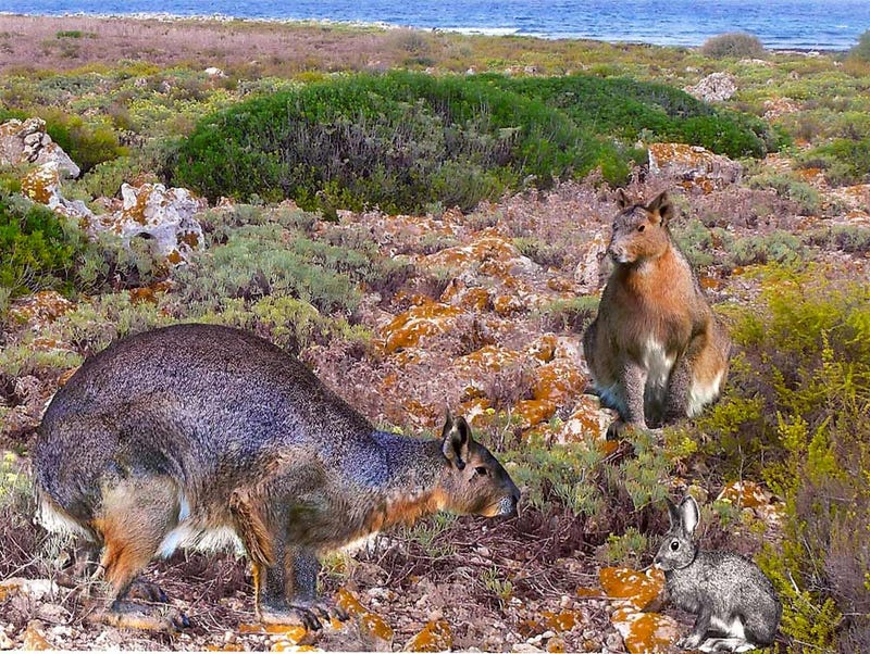 Giant bunnies reigned over the Mediterranean island of Minorca 3 million years ago