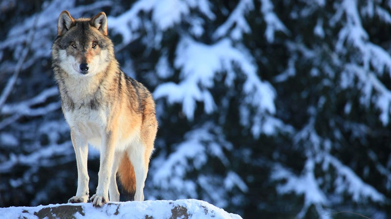 Swedish Zookeeper Mauled to Death by Wolves