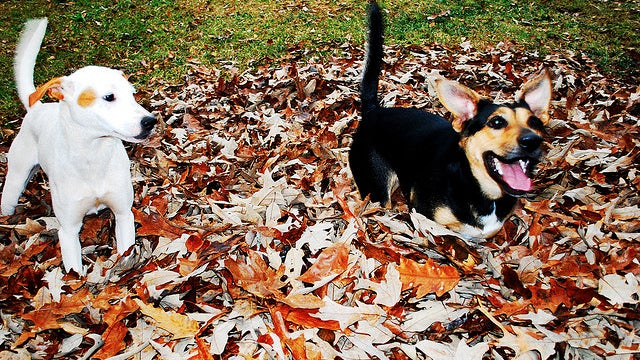 The Puppies Are Playing in Leaves in This Week's Open Thread