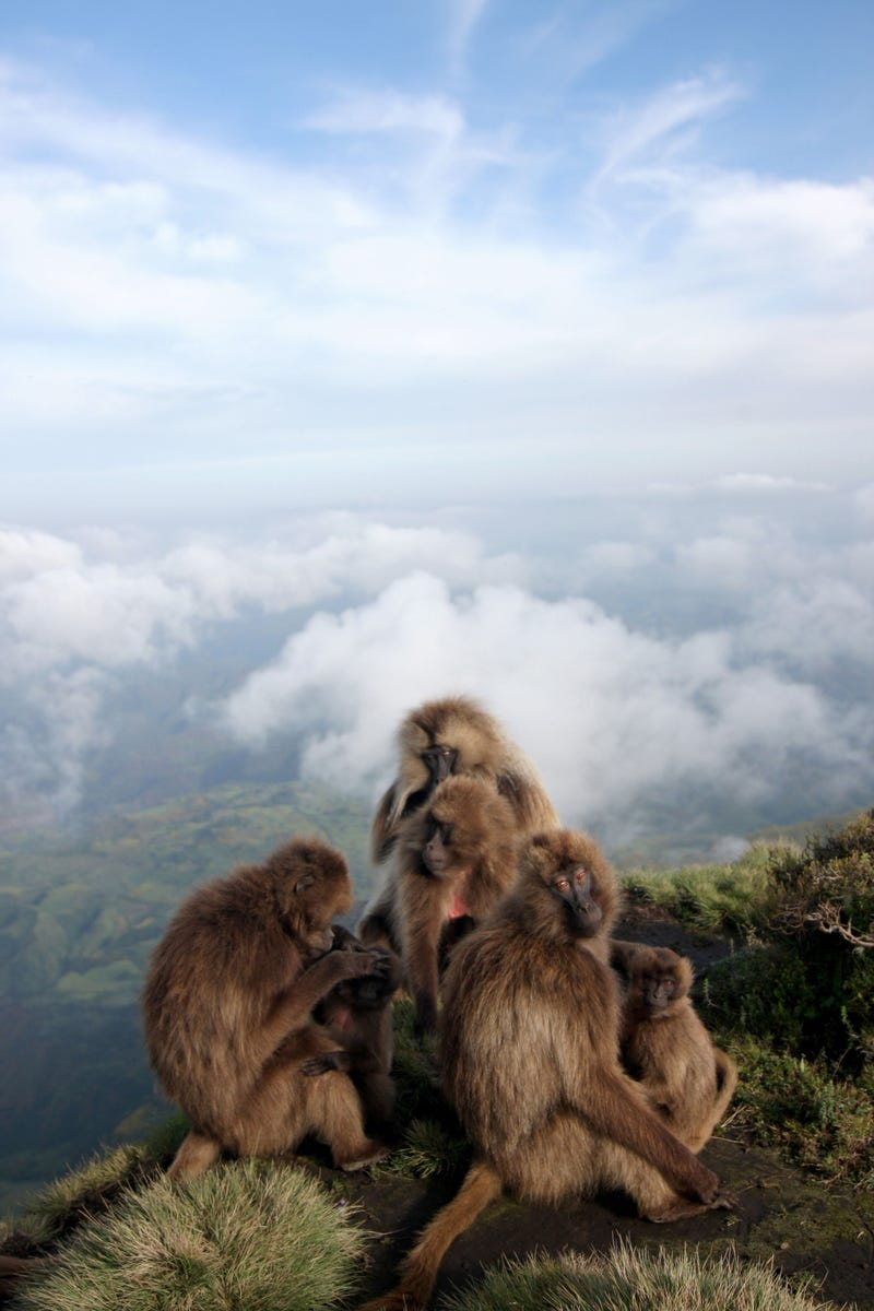 Gelada monkeys offer evidence that abortion is part of evolutionary fitness