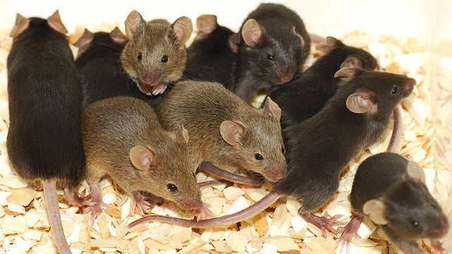 Scientists Turn Mice Gay by Depriving Them of Serotonin
