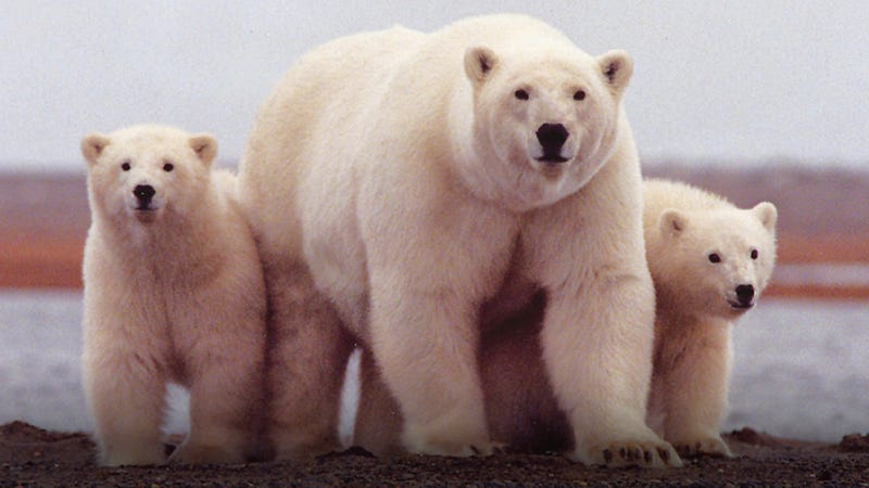 Hey everybody, let's spend the rest of the day watching live HD footage of the largest polar bear gathering in the world, deal? Deal.