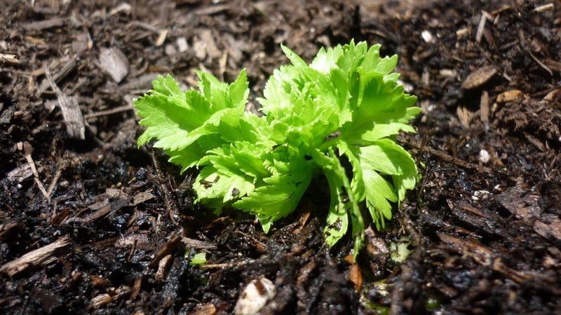 How to Grow Unlimited Celery Without Entering the Contra Code