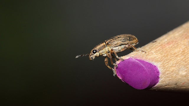 Freeze Grains to Avoid Weevils