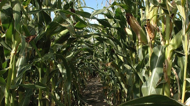 Pesky insects becoming resistant to genetically modified corn