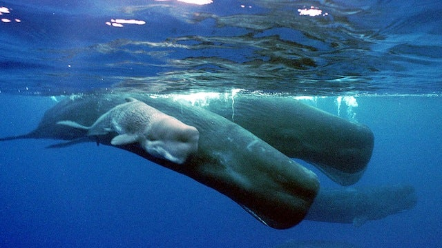 Sperm Whales Might Have Names