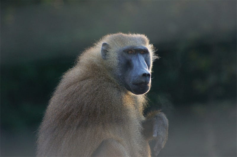 No, baboons can't actually read. Yet.