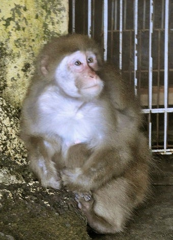 Fugitive Biting Monkey No Longer on Lam