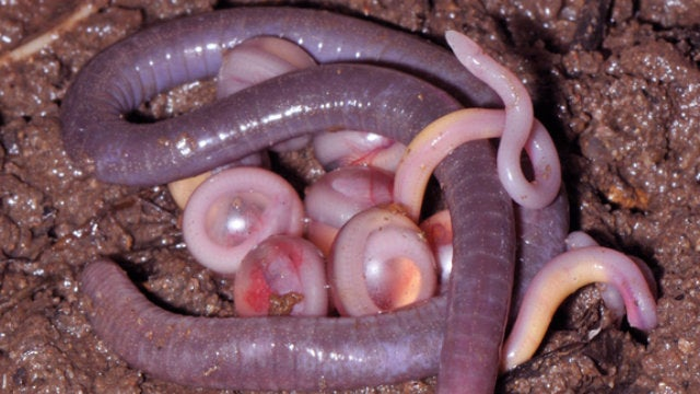 "These ""Earthworms"" Are Actually an Entirely New Family of Amphibian"