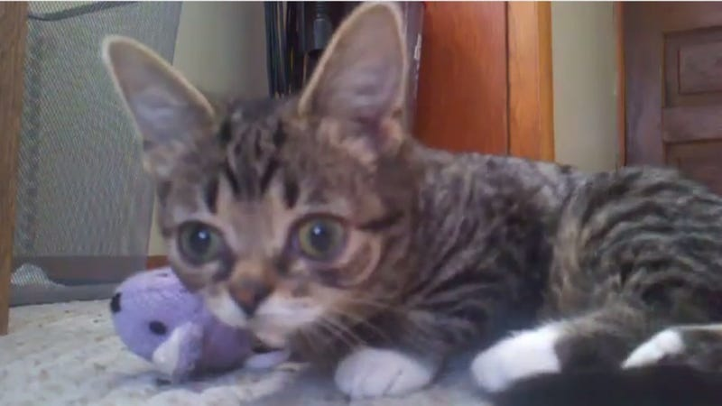 And Then Dwarf Cat Li'l Bub Happened And Everything Changed