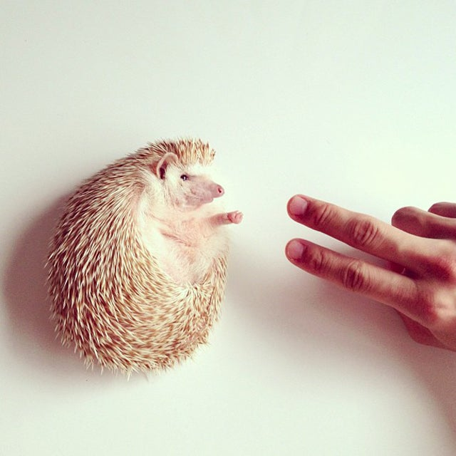 I Had No Clue Hedgehogs Were So Darn Cute
