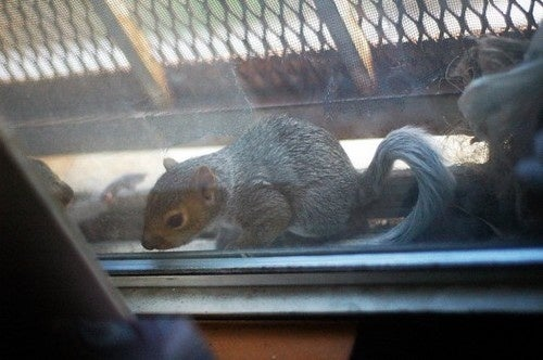Mama Squirrel Picks Window In Brooklyn To Birth & Raise Babies