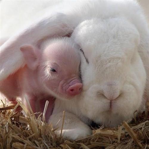 Bunny vs. Pig