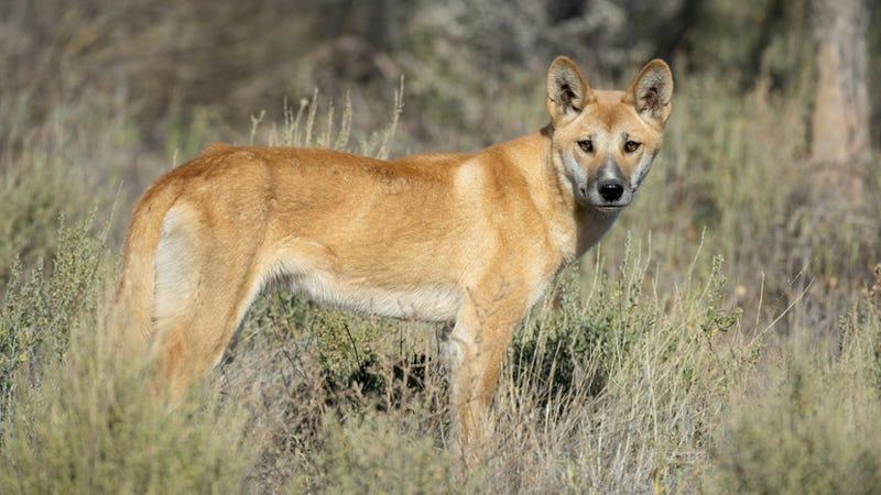 No, Australia's Dingos Are Not Wild Dogs