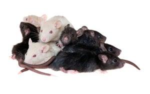 Baby Rats Ground Qantas Passenger Jet