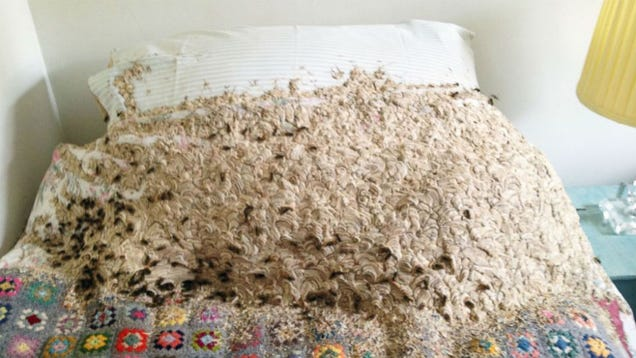Thousands of Wasps Found Living in Woman's Home