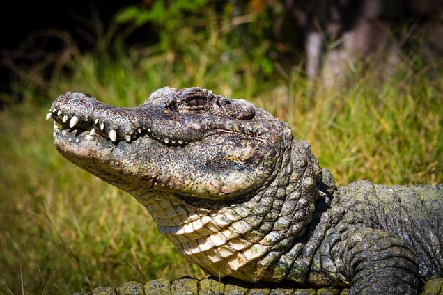evolution of the alagator This distinction is more important for paleontologists studying crocodilian evolution the extant alligatoridae are two species in the genus alligator.
