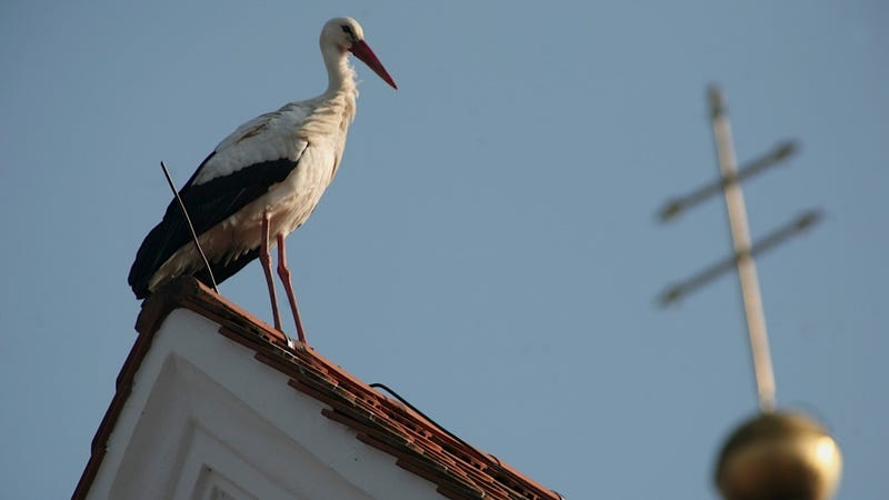 Huge Stork Has Been Aggressively Storking Residents of a German Town