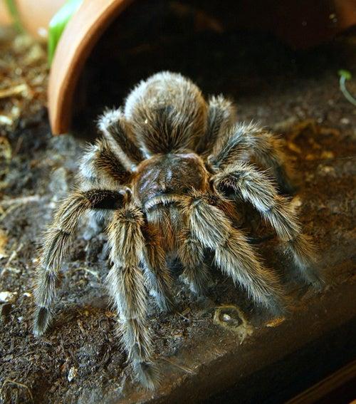 'Tarantula Invasion' Has Northern Britain On Edge