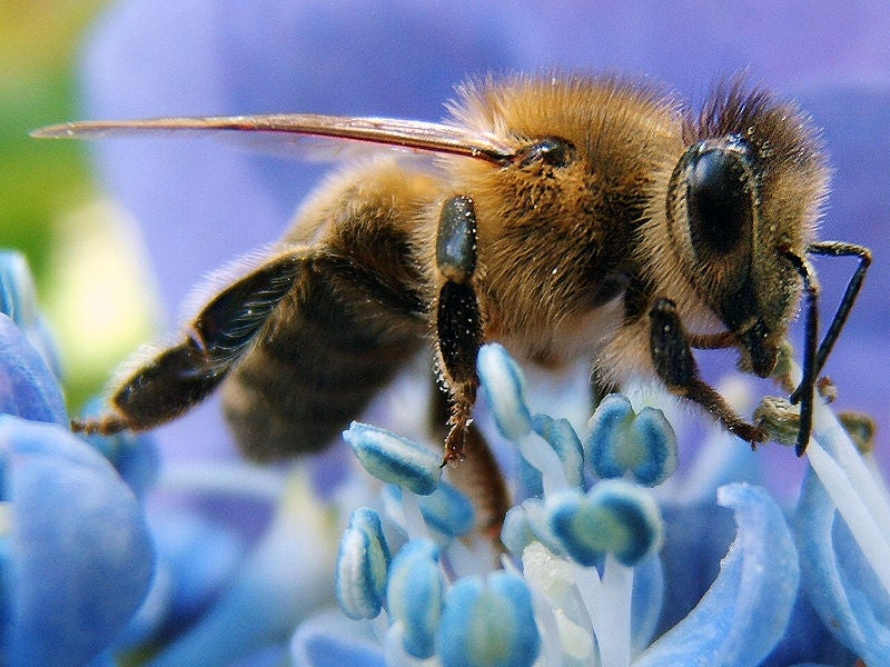 Why Are So Many Bee Colonies Dying Off In Europe?