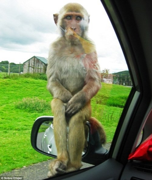trunk monkey accomplice