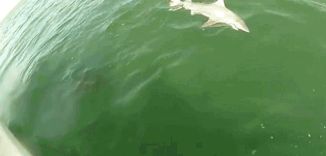 Watch This Goliath Fish Take Down A Shark In One Swift Move