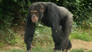 "A new study published in BMC Evolutionary Biology shows that lower back pain is more frequent in people whose spines are similar in shape to those of chimpanzees. ""[Our] study suggests that the"