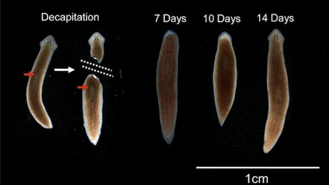 Decapitated worms regrow their heads with old memories intact
