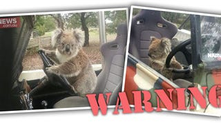 Koala Commits Heinous Crime Of Grand Theft Awwwww-to