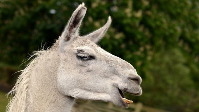 Fourteen Pregnant Llamas Saved From Ranch
